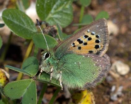 Provence Hairstreak buttefly