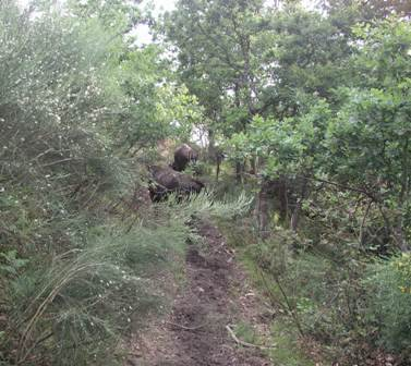 Even small herds of cattle make paths which can act as fire breaks