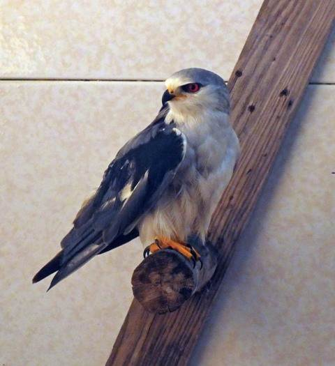 Black-shouldered Kite at RIAS