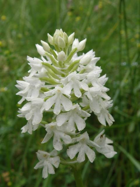 A white Pyramidal Orchid