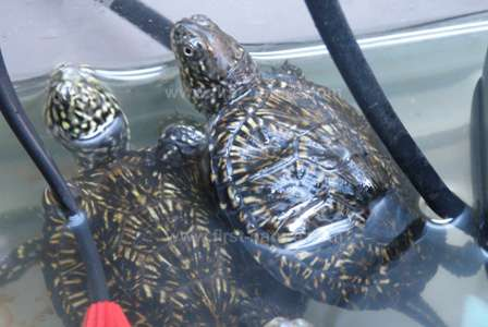 Baby European Turtles being reared in a tank at Rias