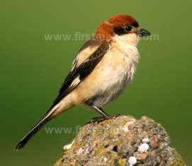 The Woodchat Shrike is a summer visitor to the Algarve