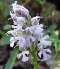 Orchis conica - Conical Orchid