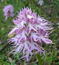 Orchis italica - Naked Man Orchid