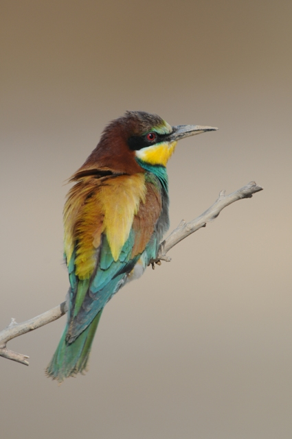 A prominently-perched European Bee-eater