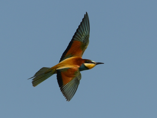 A European Bee-eater banks in flight