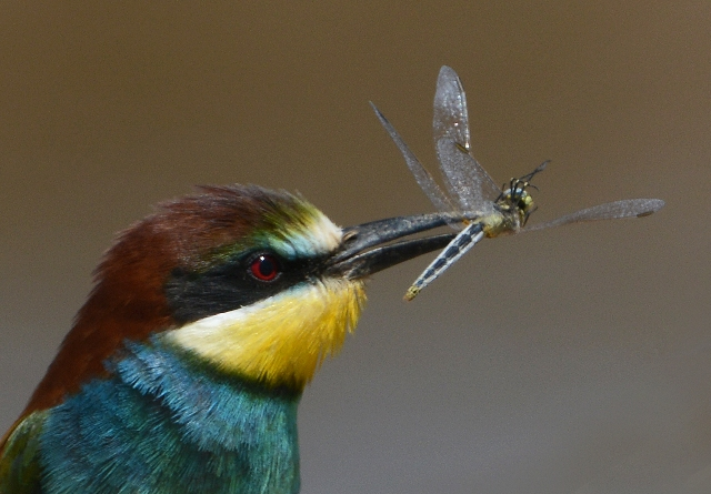 This Europeab Bee-eater varies the diet with a dragonfly