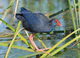 The Purple Gallinule