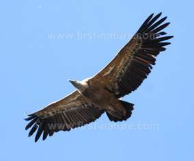 The Eurasion Griffon Vulture