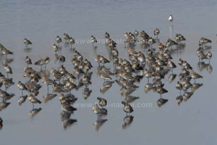 Black-tailed Godwits at Castro Marim