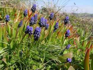 Grape Hyacinth grows at Castro Marim Reserve