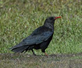 Choughs at the Cape
