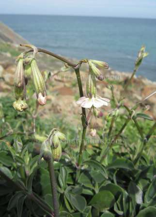 Silene rothmaleri thought to be extinct has been refound in the Algarve