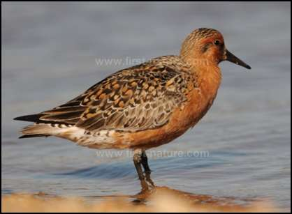 Red Knot Calidris canutus in breeding plumage