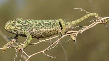 The European Chameleon