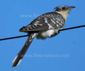 The Great Spotted Cuckoo