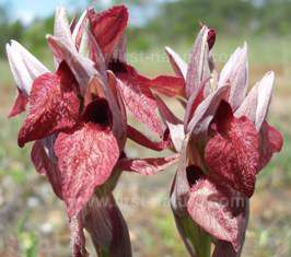 Heart-flowered Tongue Orchid