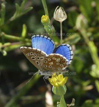 An Adonis Blue Butterfly