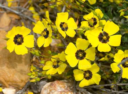 One of the rockroses of the Algarve